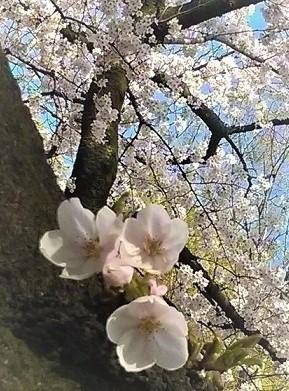 花よりスイーツ(*・v-) 桜アイス♫♪お蕎麦さんで見つけた!ひんやりおいしい和風デザート